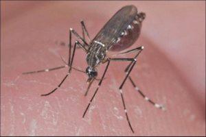 Aedes aegypti hembra