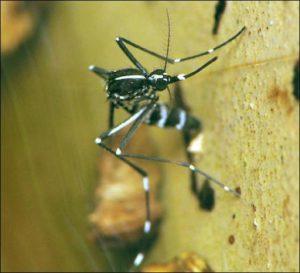 Aedes albopictus hembra