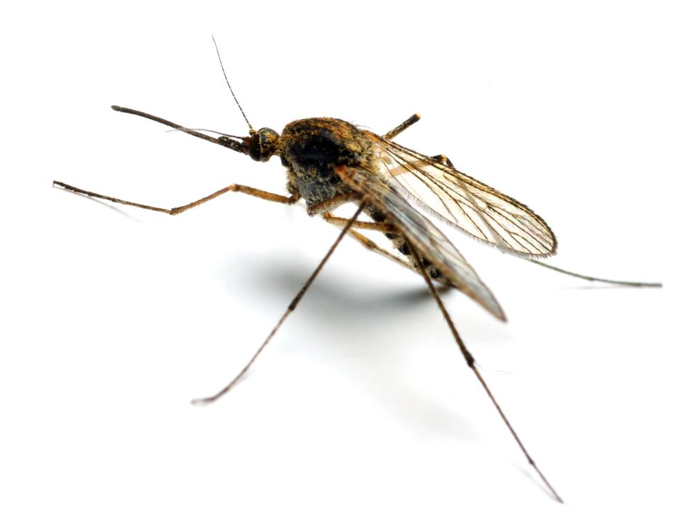 Resultado de imagen para mosquito